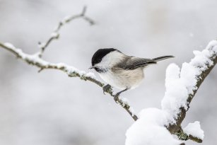 willow-tit-4885941_960_720.jpg
